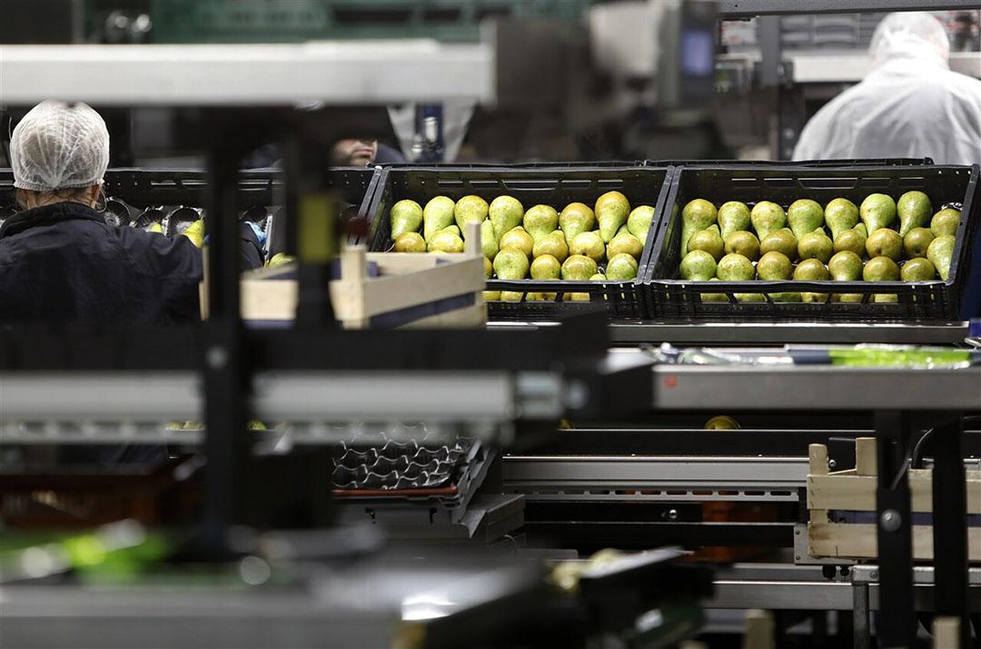 Perenlijnen bij Fruitmasters. De prijs van peren was in 2019 minder goed dan in 2018.- Foto: ANP