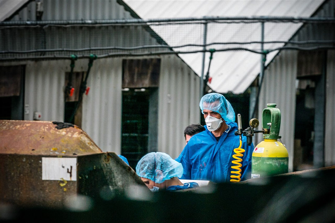 Medewerkers van de NVWA aan het werk tijdens een ruiming van nertsen op een nertsenfokkerij in het Brabantse Vlierden. Foto: ANP