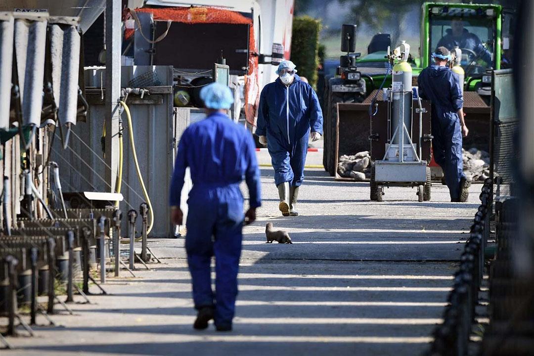 Ruiming van een eerder besmet nertsenbedrijf. - Foto: ANP