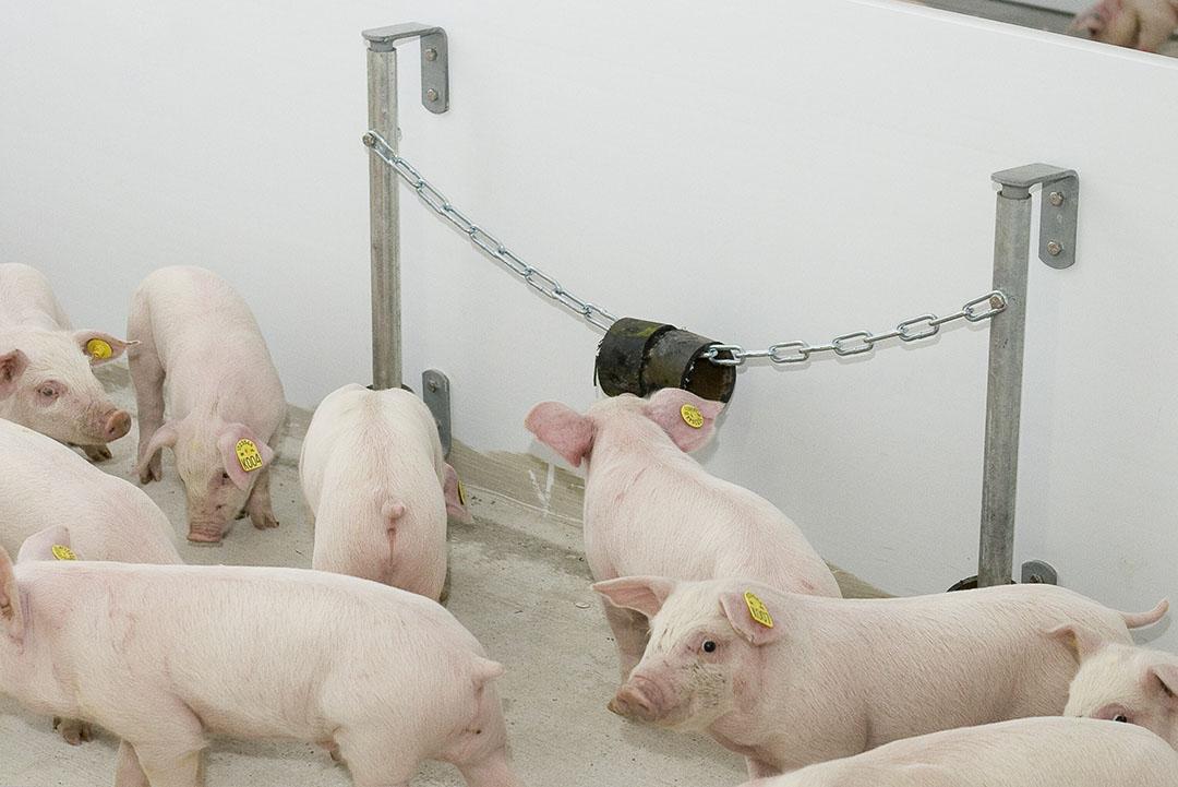 Actieve varkens in varkensstal. - Foto: Bart Nijs