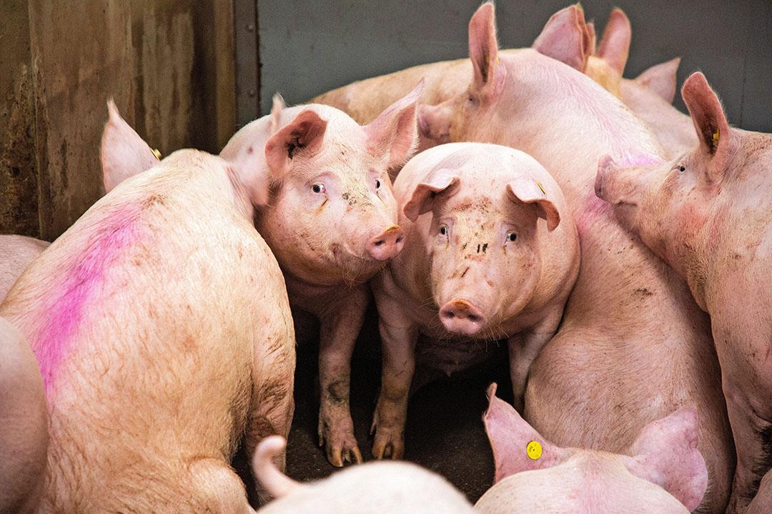 Varkens in de aankomstruimte bij Westfort in IJsselstein - Foto: Herbert Wiggerman