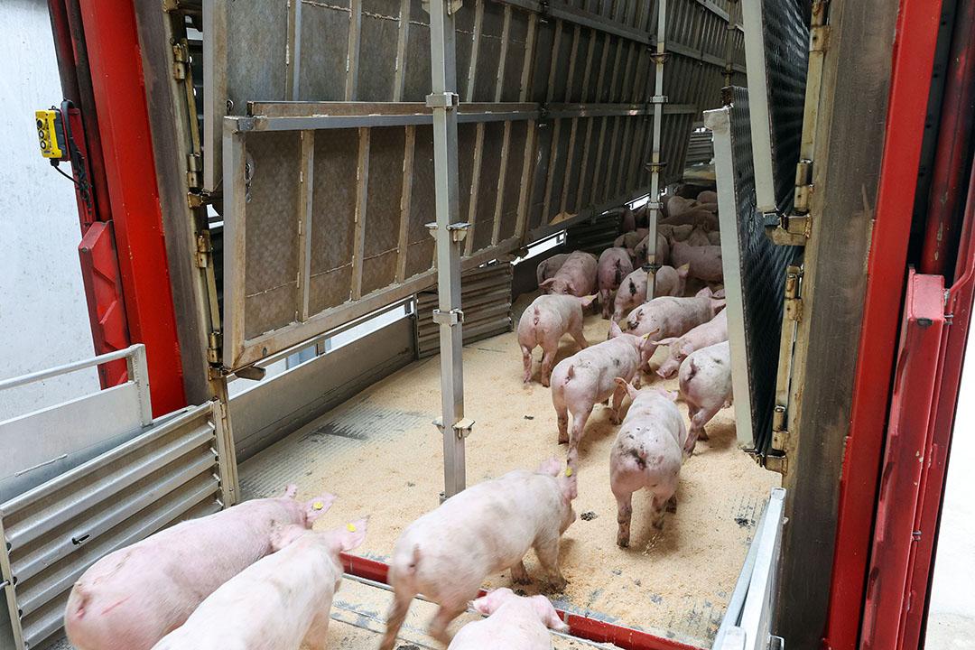 Het laden van exportbiggen. De export en opbrengstprijs van biggen staan zwaar onder druk als gevolg van de vondst van Afrikaanse varkenspest (AVP) in Duitsland. - Foto: Bert Jansen