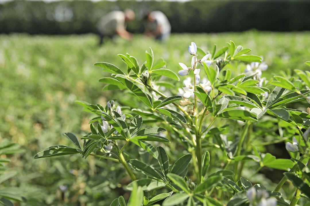 Lupineteelt. De voorgenomen eiwitstrategie richt zich op eiwitrijke gewassen, vlinderbloemigen als lupine en veldbonen. - Foto: Michel Zoeter
