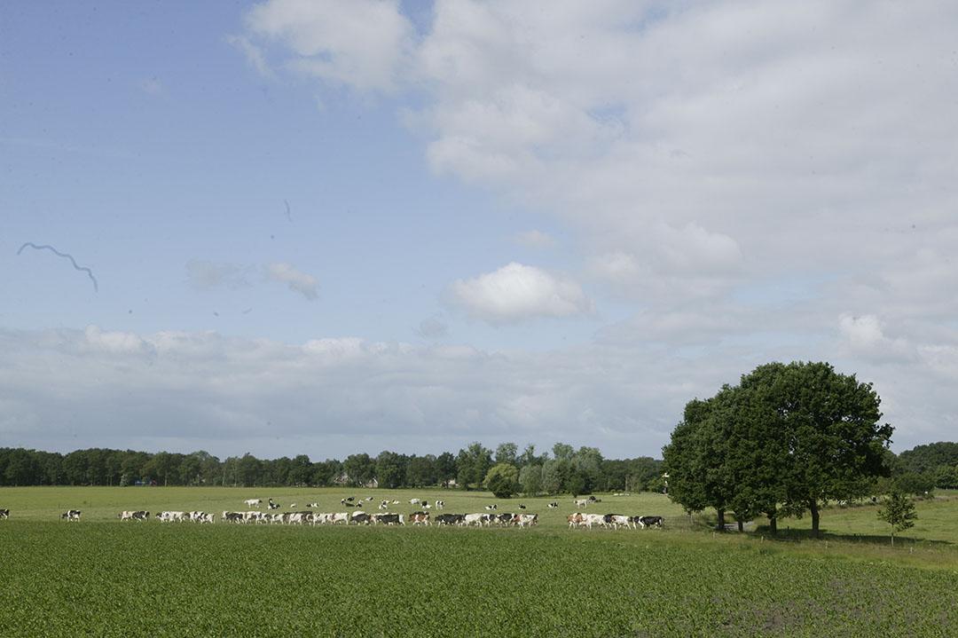 Koeien lopen in de wei in de buurt van Laren (Gld.). - Foto: Mark Pasveer