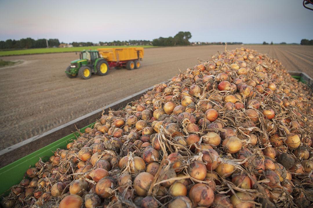 Oogst van zaaiuien in Friesland. Het gewas uien leverde de laatste jaren de hoogste gewassaldi van de akkerbouwgewassen. - Foto: Mark Pasveer