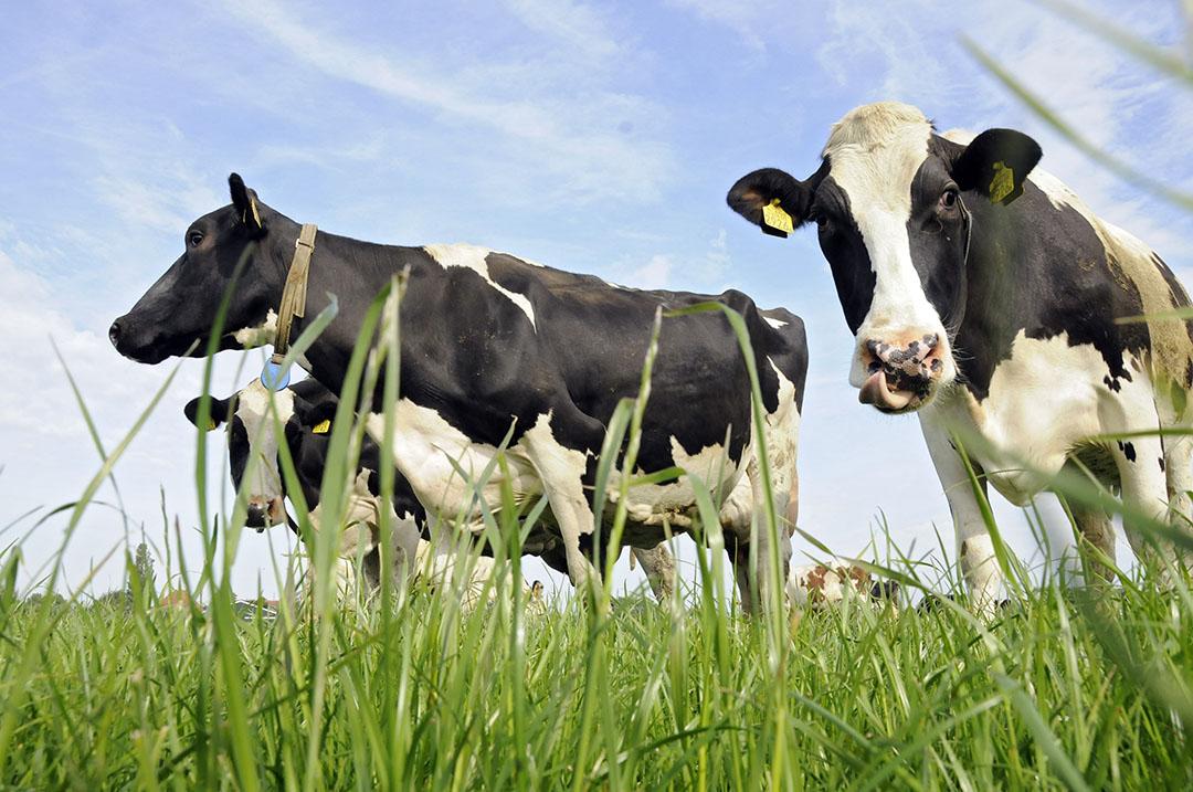Zwartbonte koeien in de wei. - Foto: Marten Sandburg Fotografie