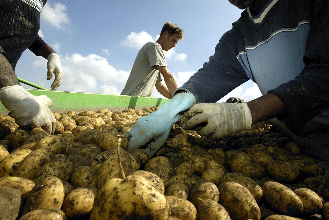 Selecteren van aardappelen door uitzendkrachten. - Foto: Hans Prinsen