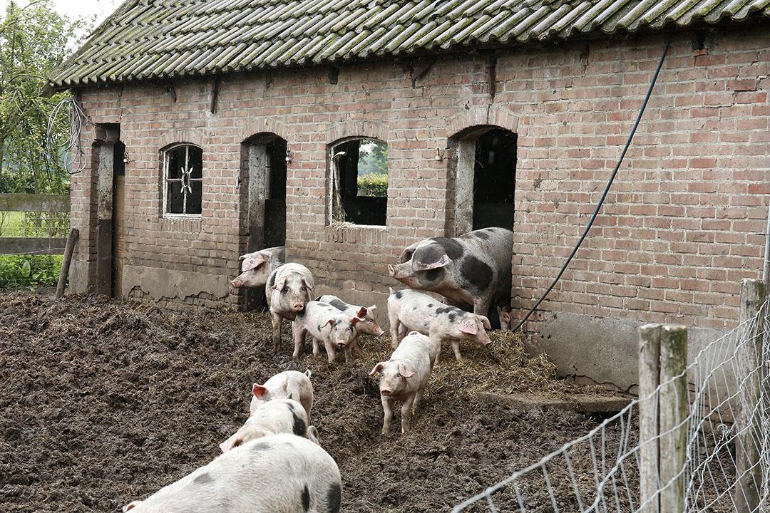 'Nu zijn er bijvoorbeeld, volgens het CBS, op 7% van alle land- en tuinbouwbedrijven nog varkens, in 1970 was dit nog op 41% van alle boerderijen'. Foto: Hans Prinsen
