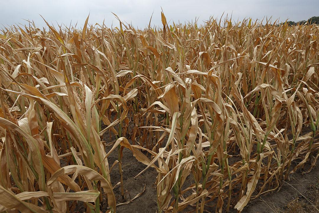 Verdroogde mais in 2018. Ook dit jaar is er sprake van extreme droogte. - Foto: Henk Riswick