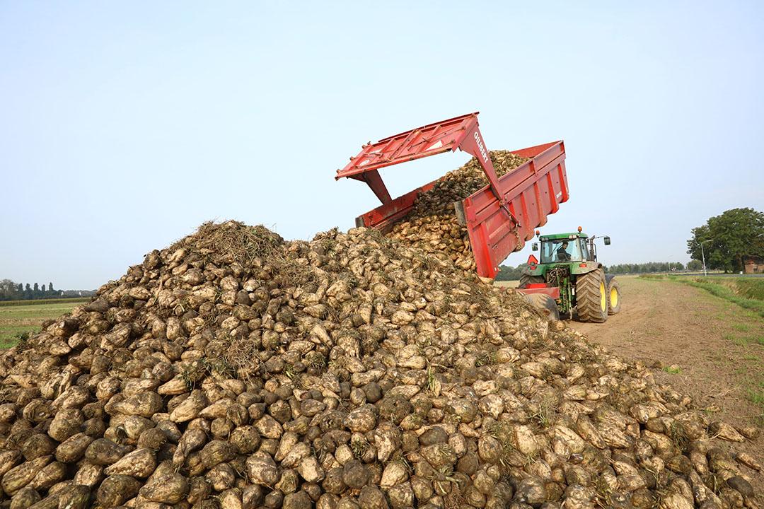 Oogst van suikerbieten. De Europese suikerprijs heeft geen last van de coronacrisis. Foto: Henk Riswick