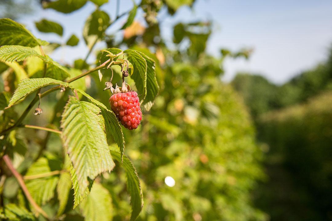 Vooral bij permanente gewassen in de fruit- en wijndruiventeelt heeft de dubbele benutting voor voedsel- en energiedoeleinden een groot potentieel, zo denken de initiatiefnemers. Foto: Peter Roek