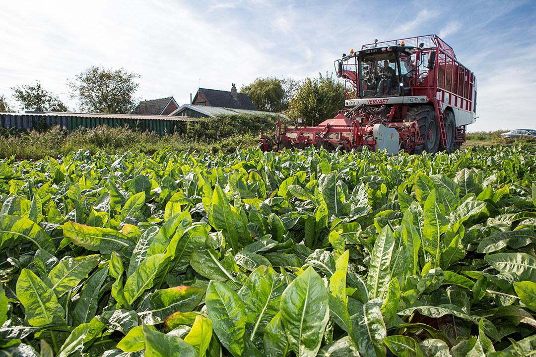 De oogst van cichorei in september van dit jaar. - Foto: Peter Roek