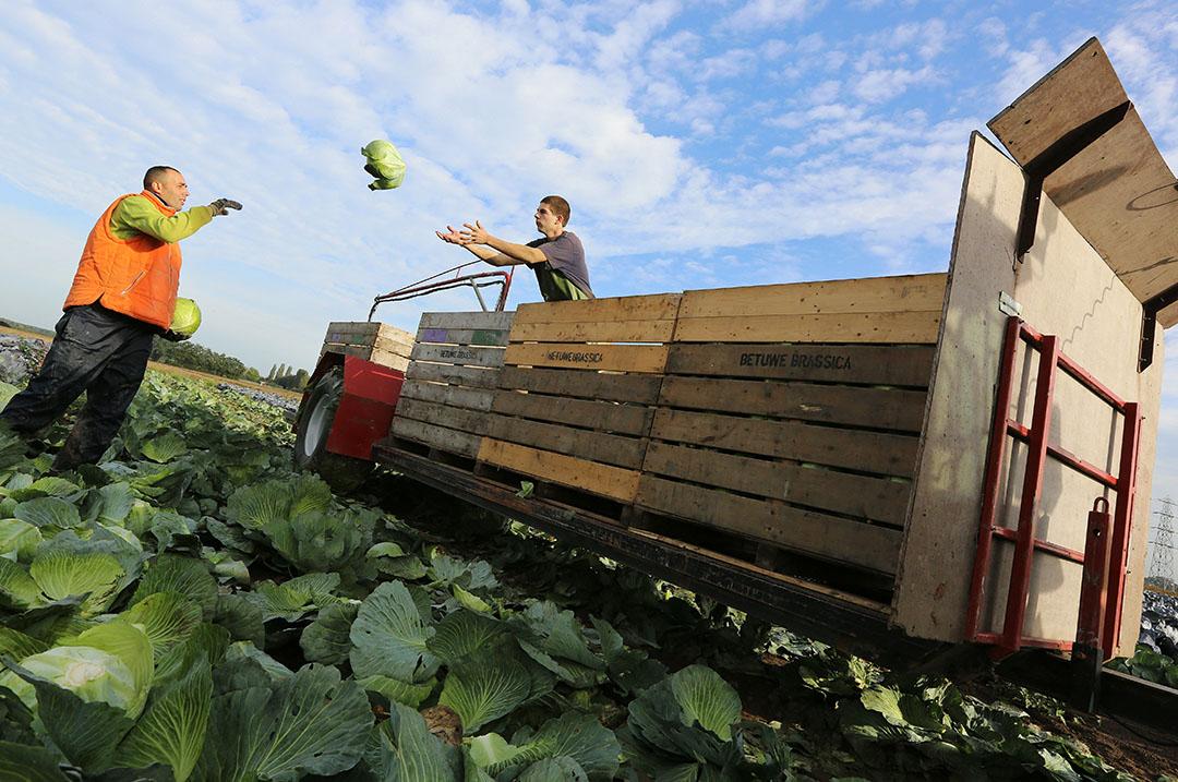 Oogsten van witte kool. Telers in de EU maken zich zorgen dat er binnen de voorgestelde Farm-to-Fork-strategie onvoldoende rekening wordt gehouden met hun situatie. - Foto: VidiPhoto