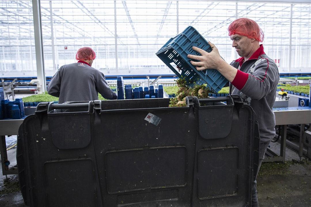 In maart werd bij Koppert Cress, een bedrijf dat teelt voor de horeca, tonnen product weggegooid. Dit dreigt opnieuw bij horecatelers. - Foto: ANP/Laurens van Putten