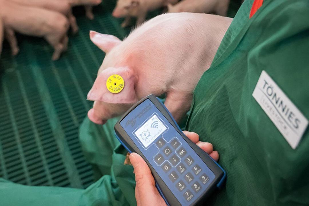 Een medewerker van Tönnies leest een oormerk uit bij een big. De Britse dochteronderneming CPC Meats is marktleider voor bacon in het Verenigd Koninkrijk. - Foto: Tönnies
