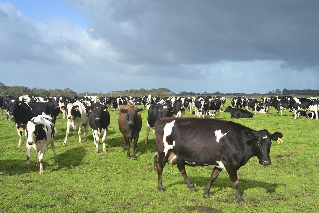 Het Canadese pensioenfonds PSP is ook eigenaar van een aantal melkveebedrijven in Nieuw-Zeeland en nam recent een aandeel van 24,9% in de grootste aandeelhouder van Fonterra, Dairy Holdings. Foto: René Groeneveld