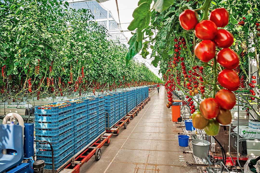 Autonome teelt zal doorzetten, maar robotisering van het gewas- en oogstwerk ziet Kees van Veen niet snel gebeuren. - Foto: Marcel Hoogenboom