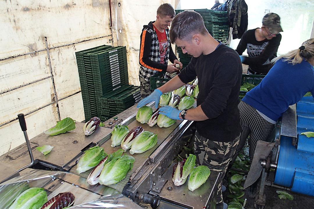 Een mooi voorbeeld van verpakken op het veld is de handelswijze bij het samenstellen van 'Veroma-Salatmix', een mix van twee groenekroppen Romana-sla en de Italiaanse langwerpige radicchiovariant Treviso met rood blad.