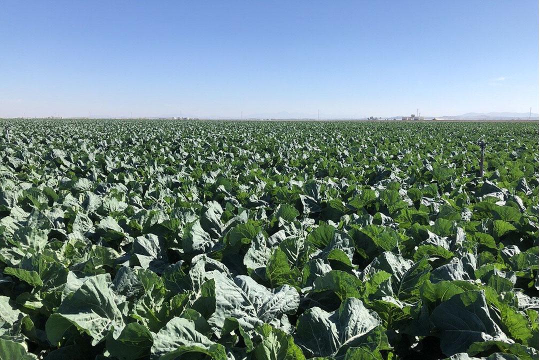 Spaanse teelt van bloemkool via PlanetProof meer gekoppeld aan Nederlandse besluiten over middelengebruik in PlanetProof. Foto: Laan.