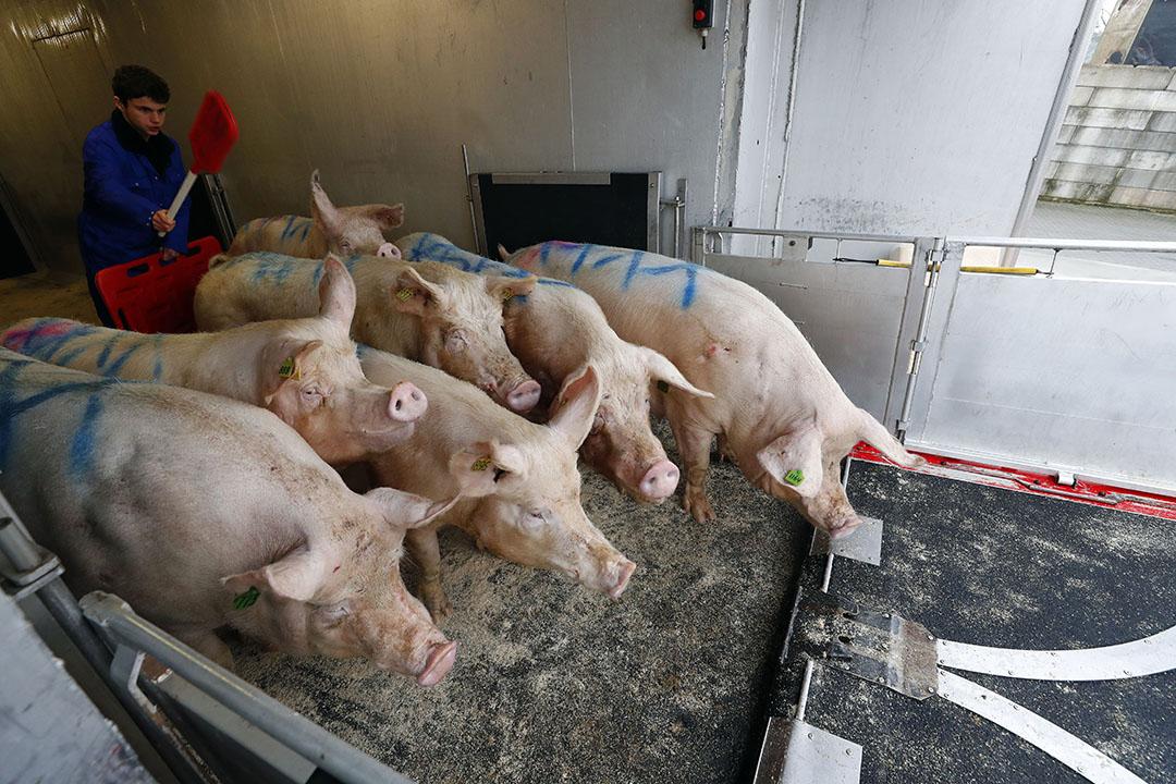 Slachtzeugen worden geladen voor export naar een Duitse slachterij. - Foto: Bert Jansen