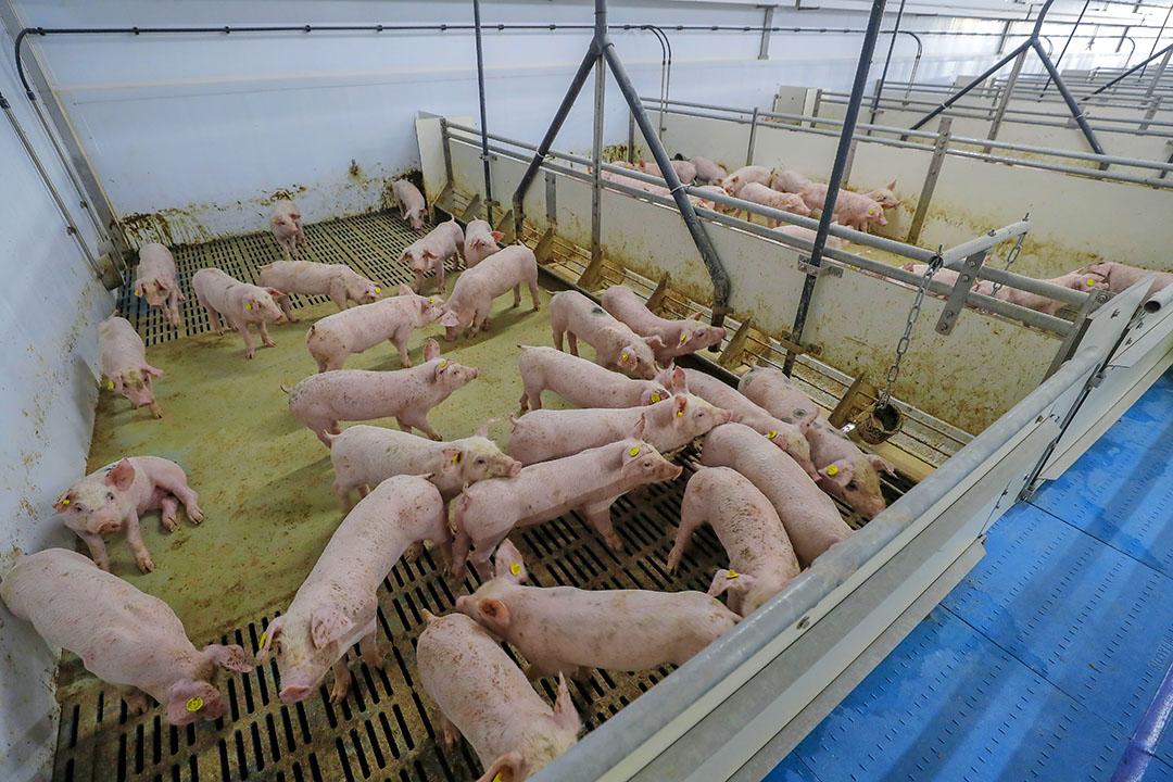Biggen in een HyCare-stal blijven volgens MS Schippers gezonder en groeien harder. - Foto: Bert Jansen