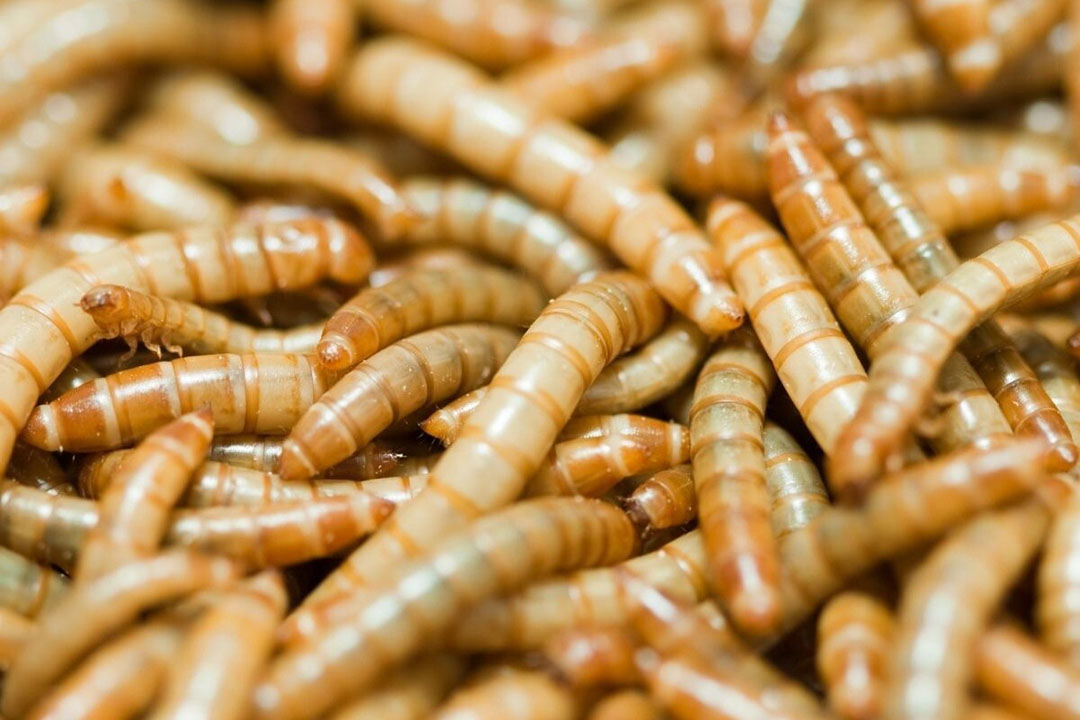 Ÿnsect heeft een gepatenteerd proces ontwikkeld voor het kweken van meelwormen om een verscheidenheid aan verteerbare eiwitten en meststoffen te produceren. Foto: Canva