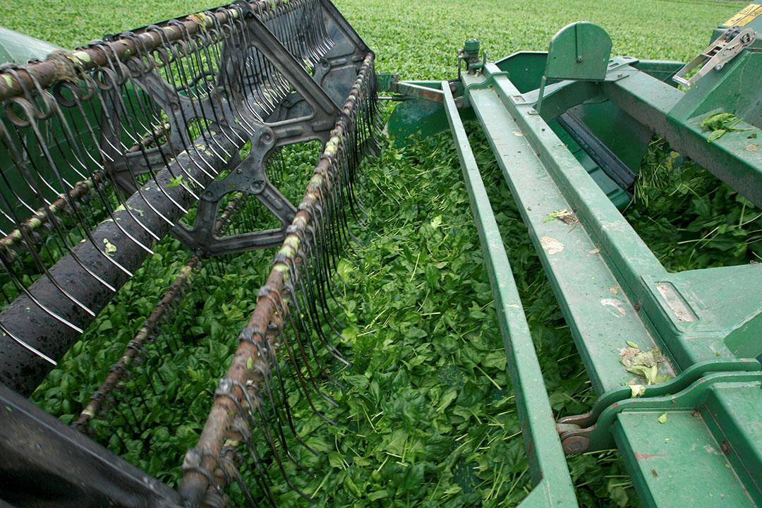 Oogst van spinazie. Goorden Wouw vervoert onder andere spinazie, bonen, uien en knolselderij binnen Europa. Foto: Peter Roek