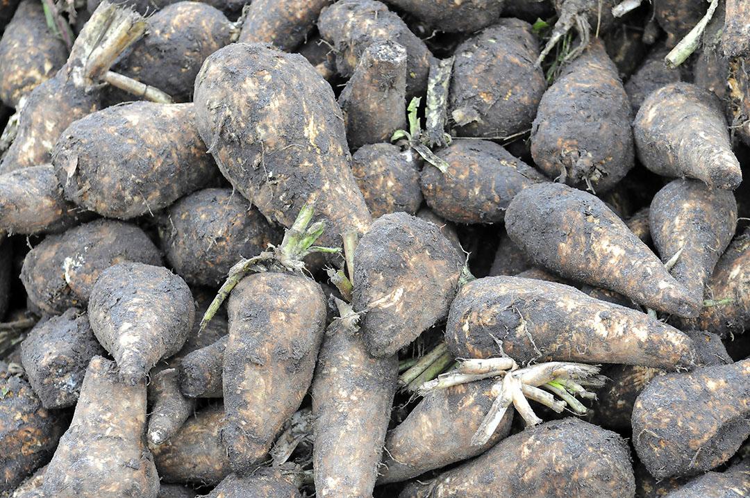 Cichoreiwortels worden geteeld voor de productie van inuline. Foto: Marten Sandburg