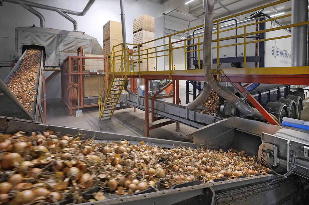 Verwerken van uien bij Waterman Onions in Emmeloord. - Foto: Ruud Ploeg