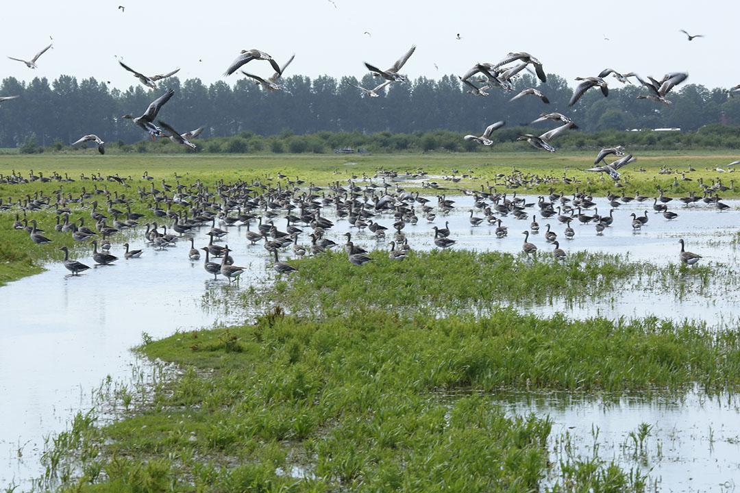 Wilde watervogels in Oost-Europa  kunnen mogelijk het virus meenemen richting Nederland. - Foto: Henk Riswick