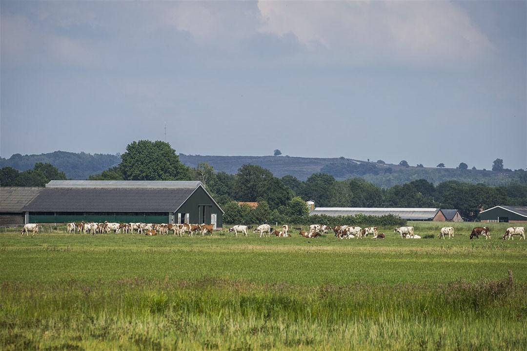 Koeien in de weide met in de achtergrond het natuurgebied De Lemelerberg met bos en heide. - Foto: ANP