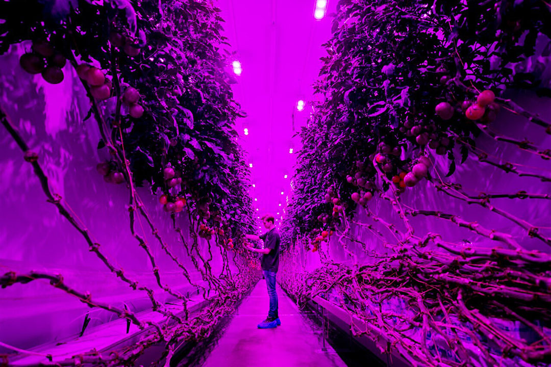 Teelt van Plantlab. - Foto: ANP