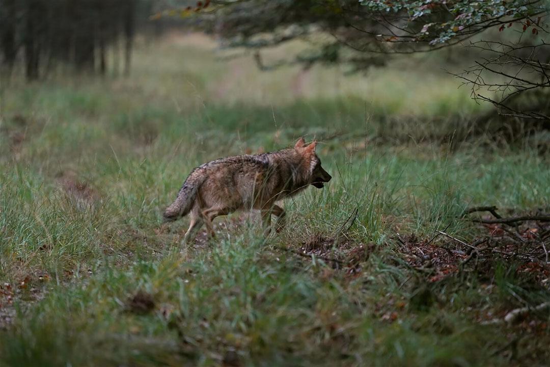 Een wolf op de Veluwe. Gelderland sluit niet uit dat er ook een goudjakhals actief is in de provincie. - Foto: ANP