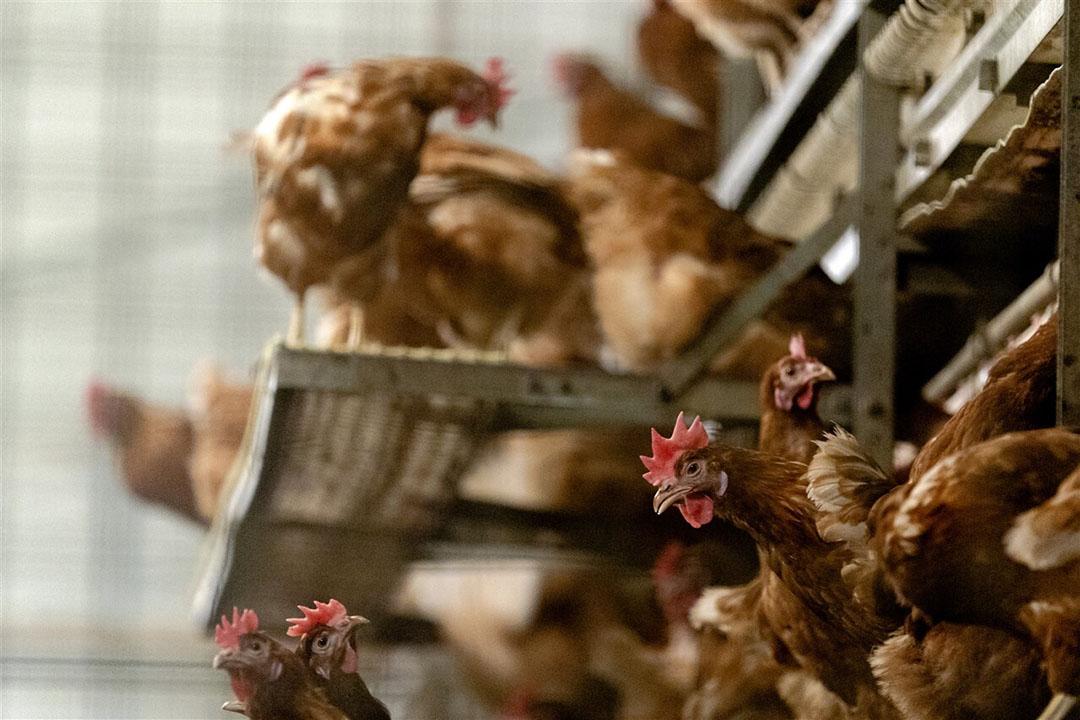 Sinds 22 oktober geldt een ophokplicht voor pluimvee. - Foto: ANP/Sander Koning