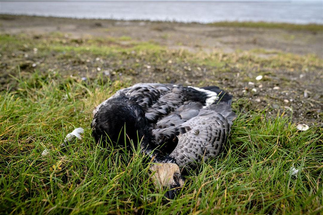 Een brandgans vermoedelijk gestorven door het vogelgriepvirus. - Foto: ANP