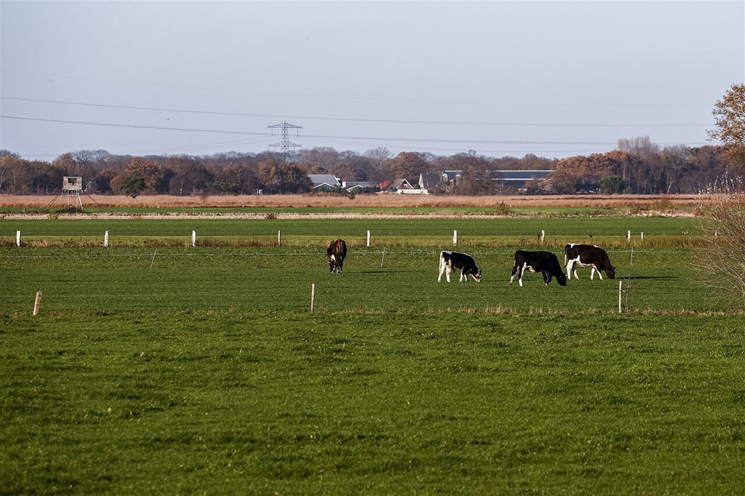 Landbouwgronden met vee en boerderijen bij natuurgebied het Wierdense Veld in Overijssel. Het Wierdense Veld is een Natura 2000-gebied.- Foto: ANP/Hollands Hoogte/Vincent Jannink