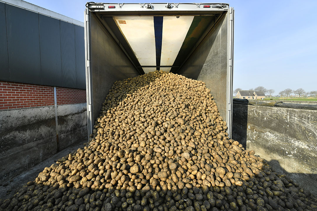 Het leveren van voeraardappelen op een melkveebedrijf. Foto: Cor Salverius
