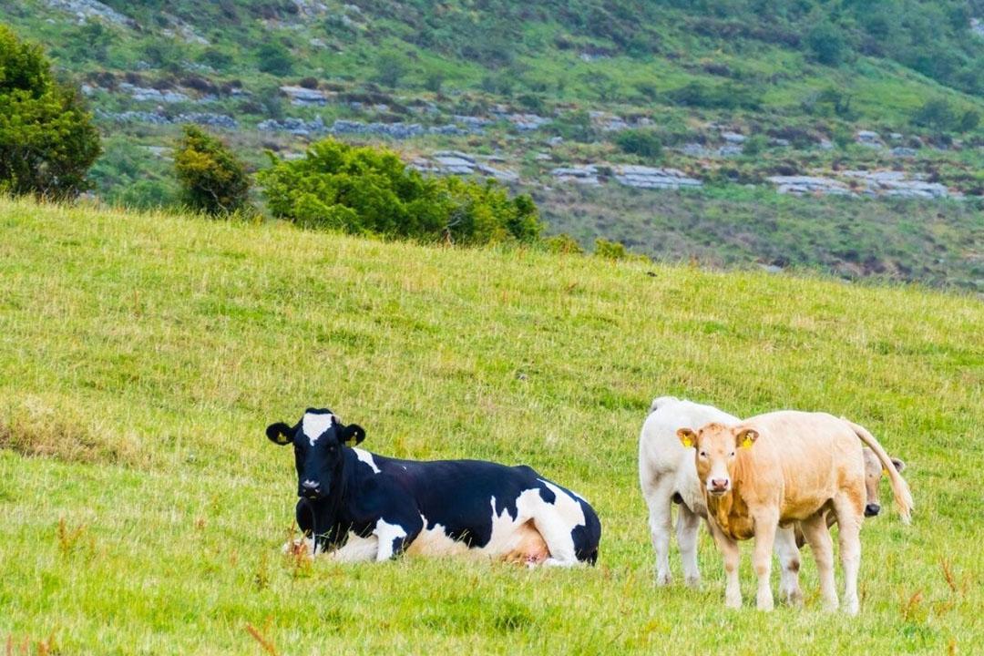 De Ierse zuivelfabrieken leverden vorig jaar 278.400 ton kaas, 250.800 ton boter en 142.500 ton mageremelkpoeder af. De cijfermatige ontwikkeling bij die producten onderstreept de sterke groei van de melkveehouderij. Foto: Canva