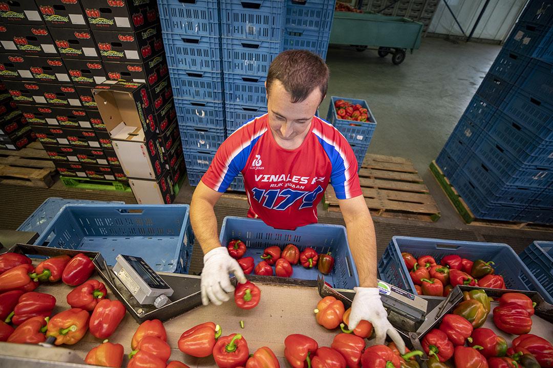 Paprika's sorteren. - Foto: Roel Dijkstra