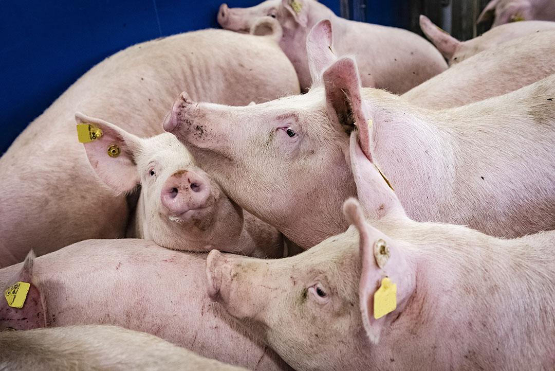 In Duitsland zitten de varkensstallen propvol. - Foto: ISN/Timo Jaworr