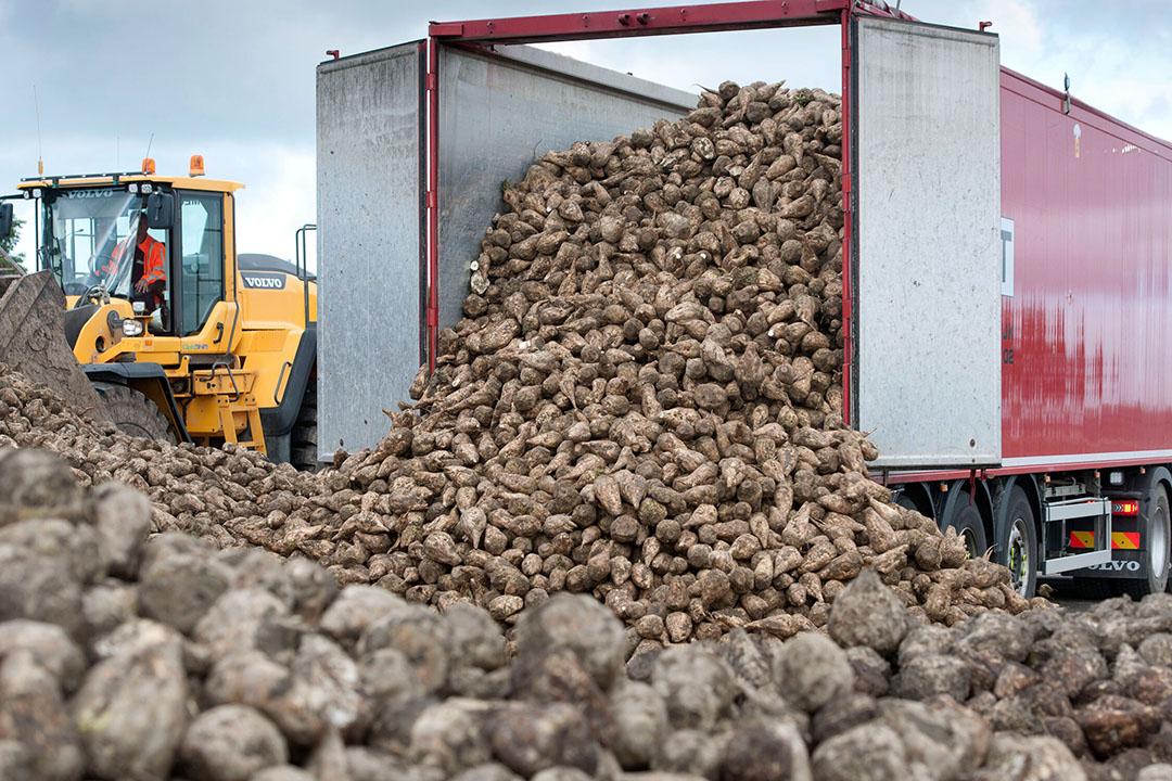 Suikerbieten storten bij de verwerker. - Foto: Mark Pasveer