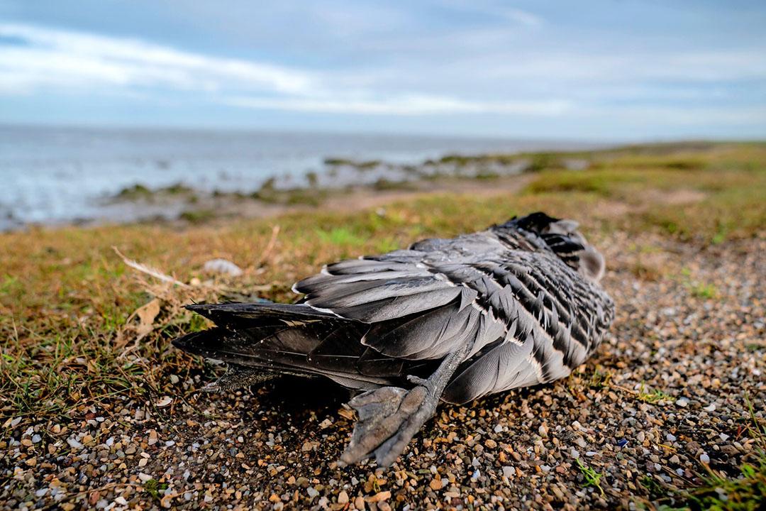 Een brandgans. Vermoedelijk gestorven door het dodelijke vogelgriepvirus. - Foto: ANP