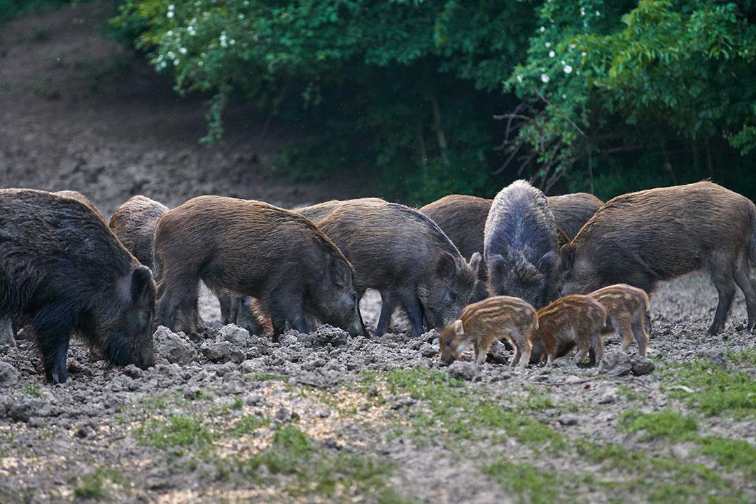 Afrikaanse varkenspest dook in september 2018 op bij wilde everzwijnen in de Belgische provincie Luxemburg. - Foto: Canva/Xalanx