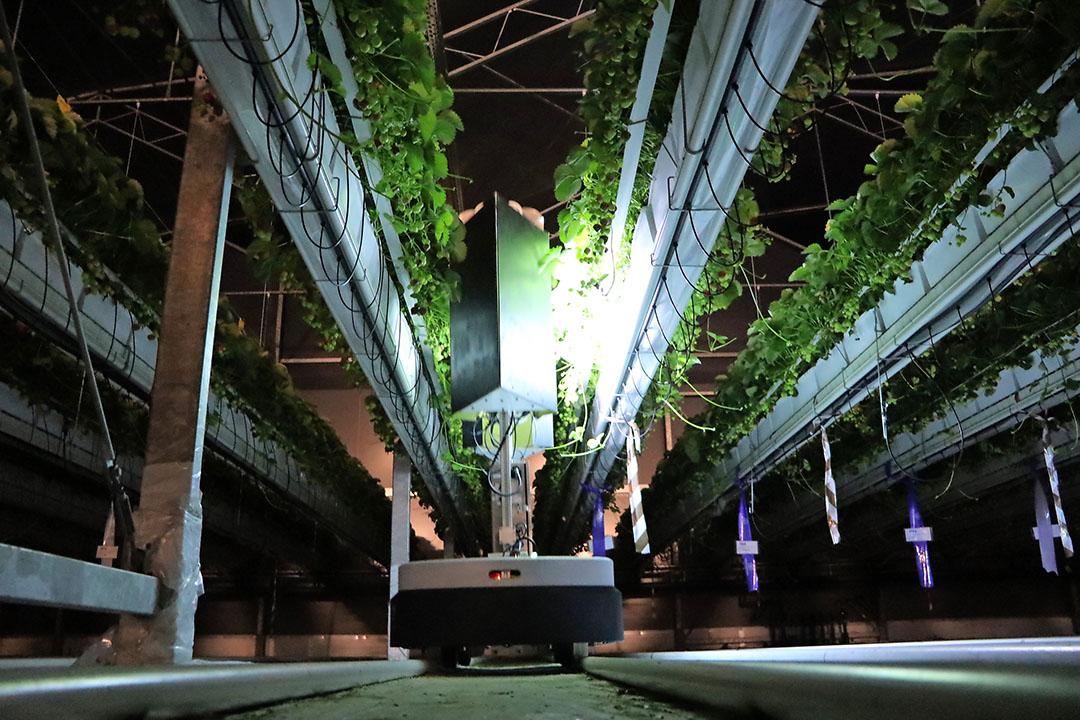 Schimmeldodend uv-c-lmapen op een zelfrijdende buisrailkar in een aardbeienkas. Doodt ook virussen. - Foto: Joost Stallen