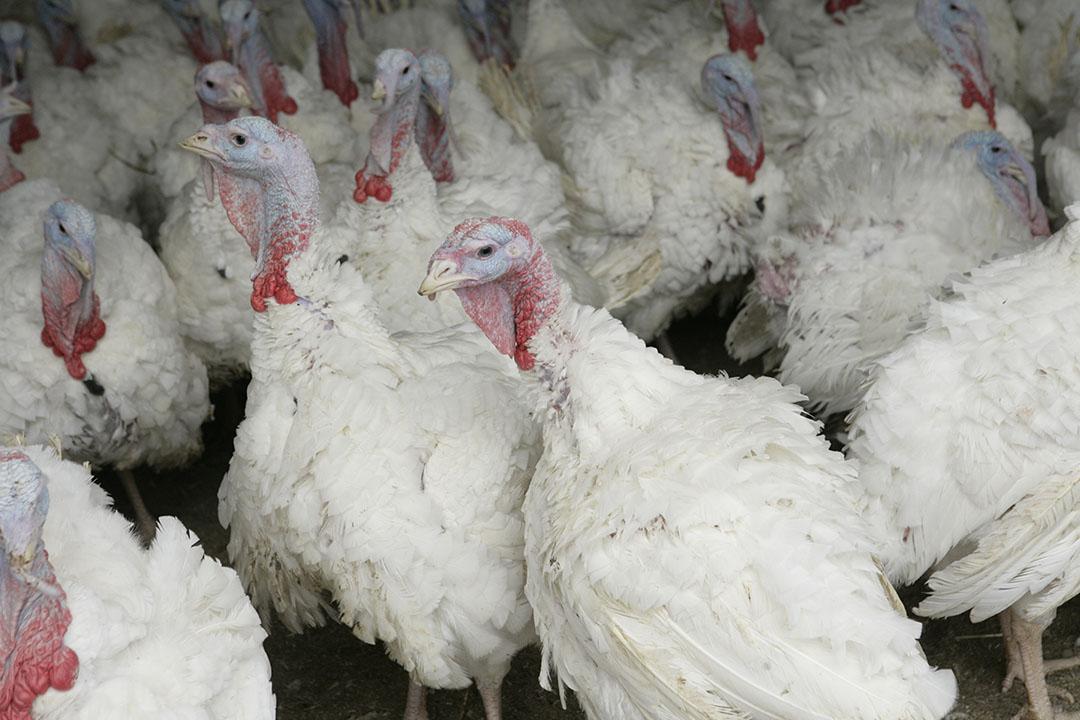 De vrijstelling helpt vooral fokkers van kalkoenen en ook kippen om hun dieren op tijd naar de slacht te krijgen voor de drukke kerstperiode. Foto: Koos Groenewold