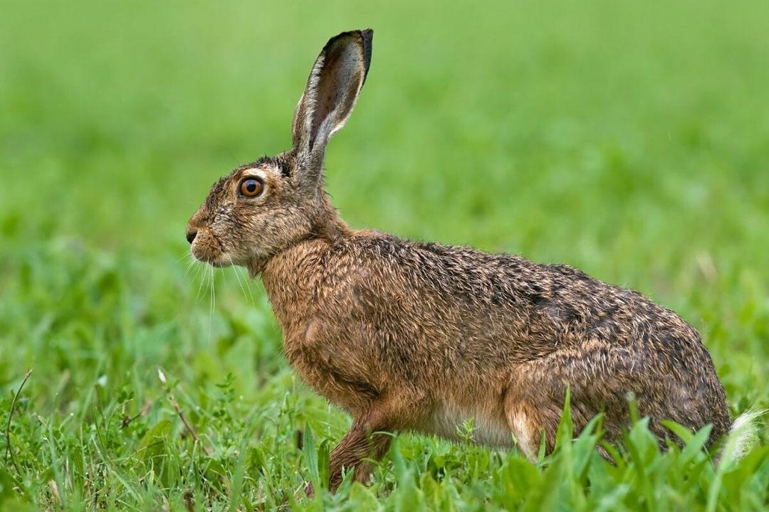 Opvallend is dat de algemene soorten haas en konijn nu op de Rode lijst staan, in de categorie 'gevoelig'. Foto: Canva