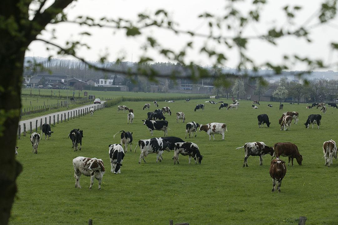 De RvS-uitspraak is leidend, stelt de Limburgse rechter, daarom is een geldige natuurvergunning noodzakelijk voor beweiden en bemesten. - Foto: Mark Pasveer