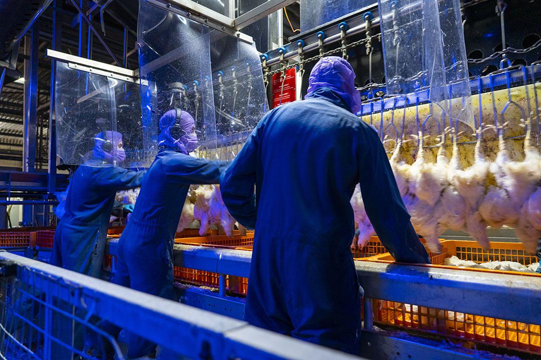 Personeel in de pluimveeslachterij van GPS in Nunspeet. - Foto: Ruud Ploeg