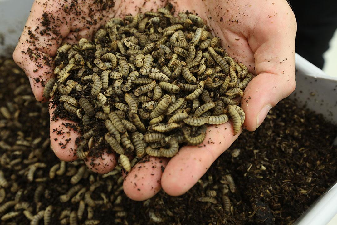 Kweek van insecten. - Foto: Henk Riswick