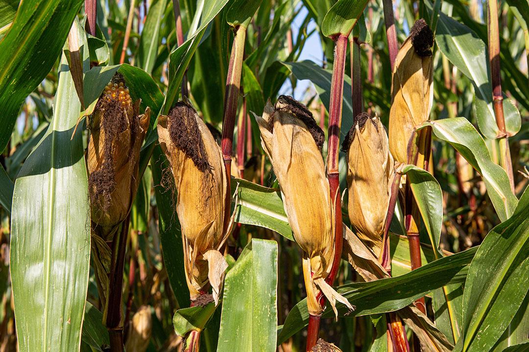 411062 Serie over maïsteelt bij melkveehouder Adrion van Beek in Breda. Proefvelden van Limagrain. Vandaag maïs hakselen en inkuilen.